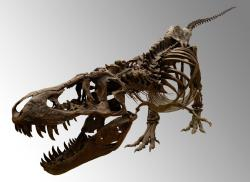 Evidence of tyrannosaurs found down under: Typical end-of-the-Cretaceous massive Tyrannosaurus rex on display at Albuquerque's  New Mexico Museum of Natural History and Science. A smaller ancestor of the beast has been unearthed in Australia.