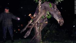 Friends do not let moose climb trees drunk: This moose got stuck in an apple tree in Sweden after eating a few too many fermented apples.