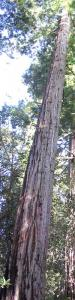 New tallest tree: photo by Art Oglesby