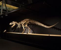 Tarborsaurus bataar in Barcelona museum: The sale of dinosaur fossils collected illegally deprives both the scientific community, and the public in general of important fossils.  Pictured specimen mounted at Sant Gervasi de Cassoles, Barcelona, Catalonia, ES.