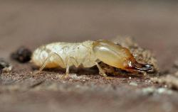 The fuel of the future?: Termite guts break down cellulose into a form that could be used for fuel.