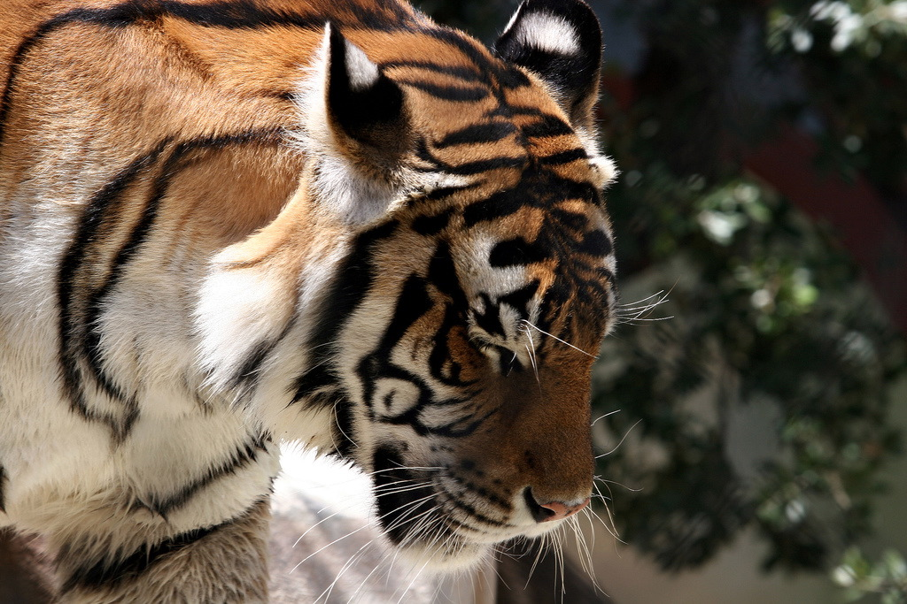 a study on tigers The tiger's wife study guide contains a biography of tea obreht, literature essays, quiz questions, major themes, characters, and a full summary and analysis.