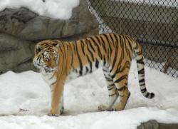 Siberian tiger: New legislation deals with private ownership of large cats.