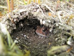 How do we know that this isn't the Southern Sandhill Frog?: Because it has burrowed backwards, of course! A handsome toad, nonetheless.
