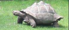 Tortoise at Como Park: Photo by Art Oglesby  You can see this tortoise at Como Park Zoo.