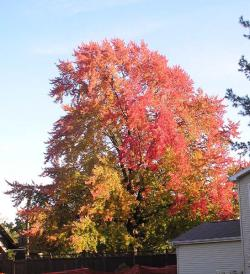 My neighbor's tree dies a slow, agonizing, horrible death: Well, the leaves do, anyway.  Photo by Gene