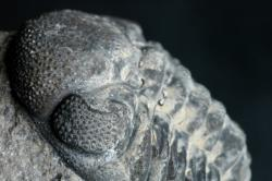 Vision evolution: The compound eye of a 390 million-year-old trilobite, Phacops rana milleri.