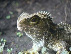 Going, going, gone?: Will global warming doom the tuatara?