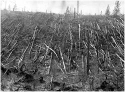 Fallen Trees at Tunguska site: 1927 Kulik expedition