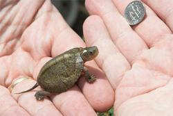 Eyed up: A handler recently displayed the newly hatched Beal's four-eyed turtle at the Tennessee Aquarium in Chattanooga. There are only 18 known Beal's four-eyes in captivity. (Photo courtesy of Tennessee Aquarium)