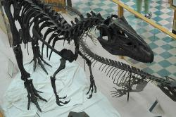 "Big Al, the Geological Museum's allosaurus: Museum director and paleontologist Brent Breithaupt led the excavation of Big Al from a northern Wyoming quarry. The BBC featured the Jurassic predator in an episode of its series ""Walking with Dinosaurs""."