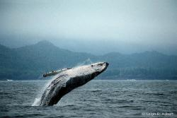 Mmmm...that's good eatin': It takes less energy to harvest seafood, including whale, than to raise animals on a farm.