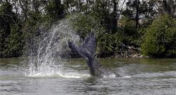 Whale river: The mother whale slaps her tail in the Sacramento River. (Photo from USA Today)