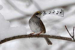 A white-throated sparrow: Is its tweeting music to the ears other birds?