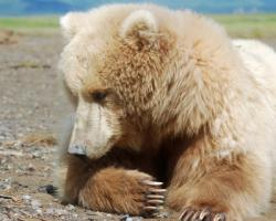 Light colored grizzly beary