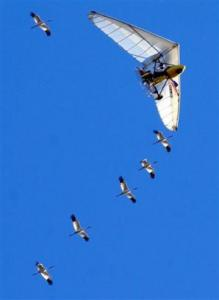 Whooping Cranes Migrating: Because of Operation Migration whooping cranes can make the migratory flights south in the fall and north in the spring on their own.  Photo courtesy thelastminute.