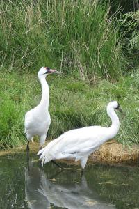 Whooping Cranes: Whooping cranes.  Photo courtesy Hedgeman.