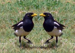 Mirror, mirror on the wall, who's the brainiest of them all?: A yellowbilled magpie involved in some self-reflection.