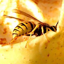yellowjacket wasp: photo from Wikipedia commons