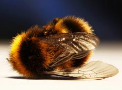"Dead zombie bee: Up to 80 percent of bee hives along the West Coast may be impacted by the ""zombie bee"" phenomenon. Parasite flies plants inside the bees, like this one, that ultimately kill them."