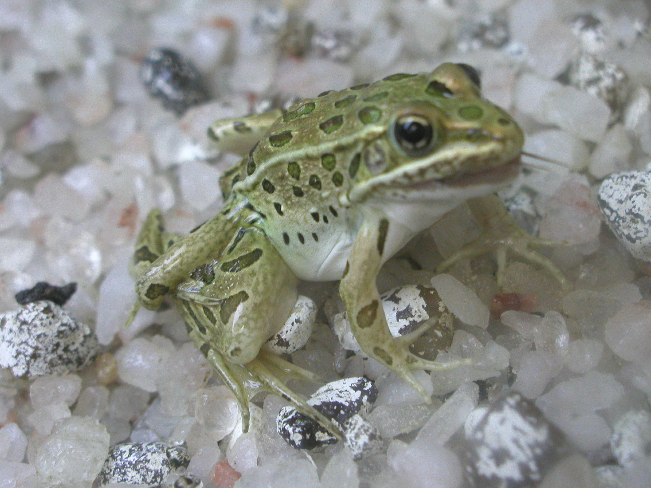 Studies offer new insights into causes of deformed frogs
